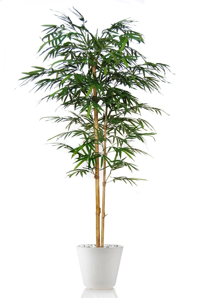 Bamboo Japanese Tree Green